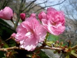 松本歯科大桜  (111)