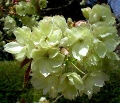 松本歯科大桜  (68)