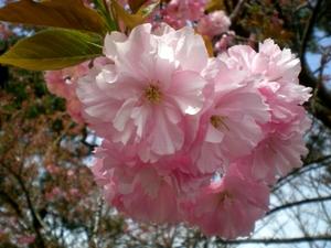 松本歯科大桜  (117)