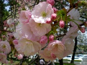 松本歯科大桜  (148)