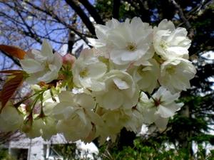 松本歯科大桜  (70)
