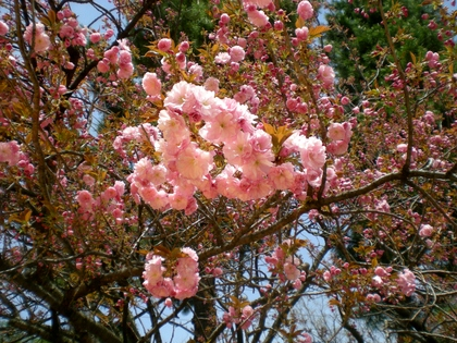 松本歯科大桜  (116)