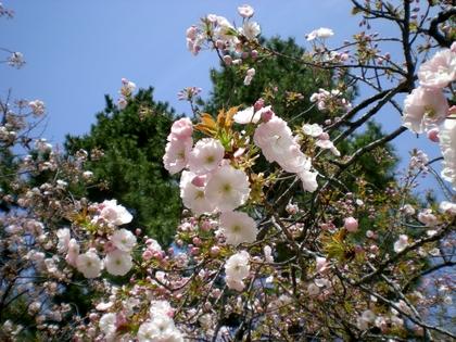 松本歯科大桜  (96)