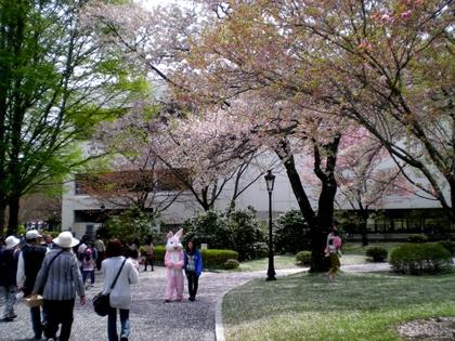 松本歯科大桜  (153)