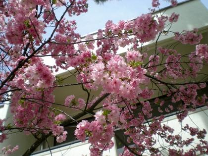 松本歯科大桜  (159)