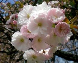 松本歯科大桜  (102)