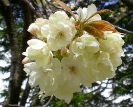 松本歯科大桜  (71)