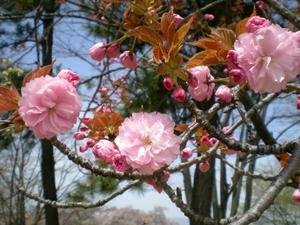 松本歯科大桜  (105)