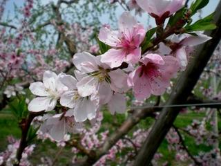 果樹の花 (11)