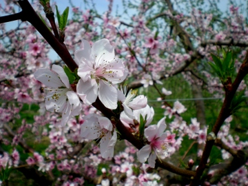 果樹の花 (12)