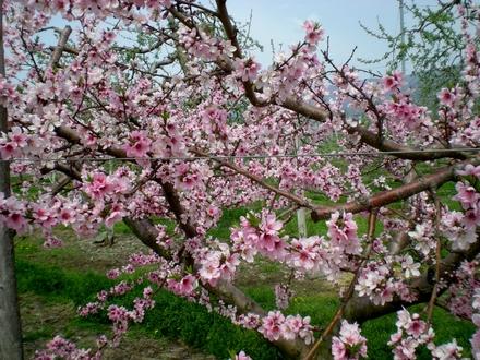 果樹の花 (13)