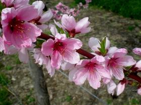 果樹の花 (14)