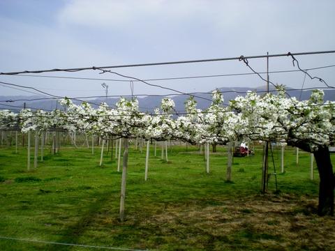 果樹の花 (10)