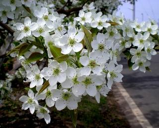 果樹の花 (9)