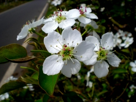 果樹の花 (4)