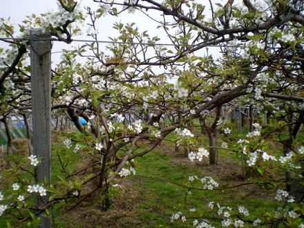 果樹の花 (5)