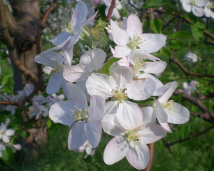 果樹の花 (16)
