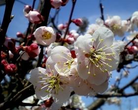 梅の花 (9)