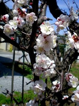 梅の花 (8)
