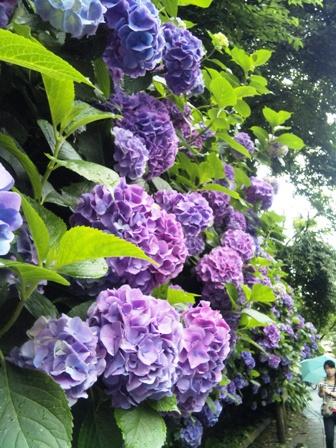 明月院の途中に咲くみごとなアジサイ