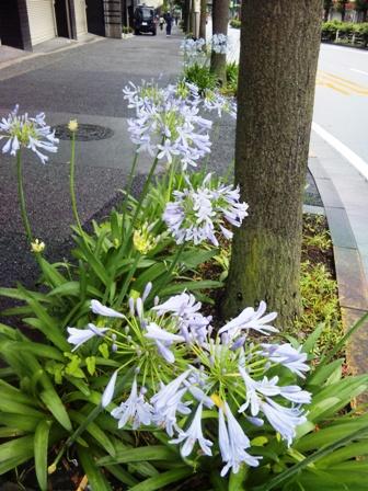 道に咲くアガパンサスの花
