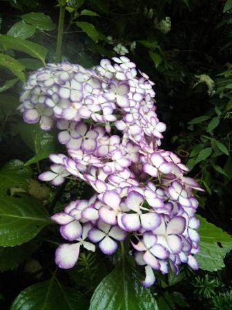 紫ふちの白いアジサイ(アップ)