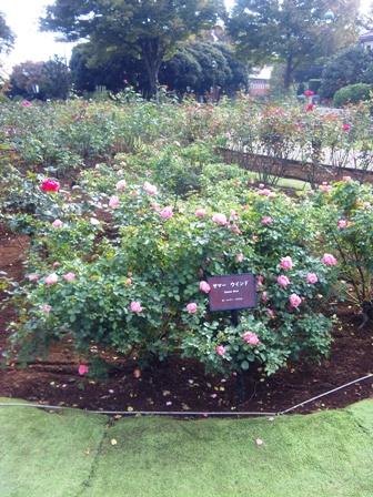 朝ラン_港の見える丘公園のバラ