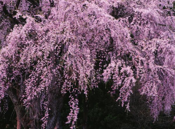 2011.05.08湯沢市おしら様02b