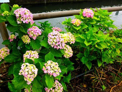 2011.6.5 ajisai pink