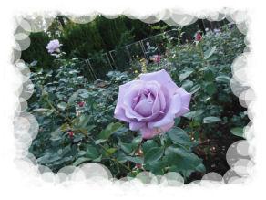 DSC06833 Rose