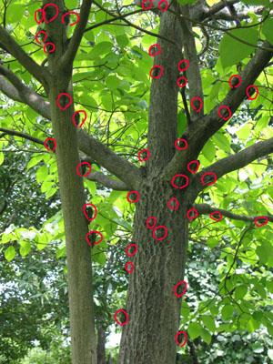 セミのなる木2