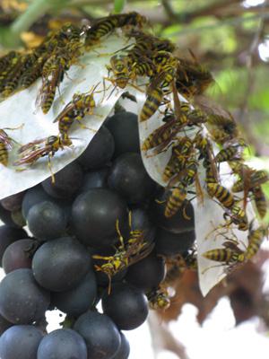 ブドウにアシナガバチ