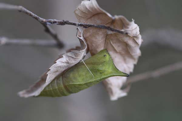 アオスジ蛹越冬