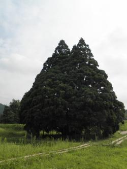 トトロの木@小杉の大杉