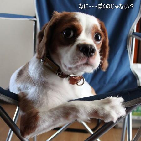 今日の看板犬 キャバリアCocoちゃん 20100815-2