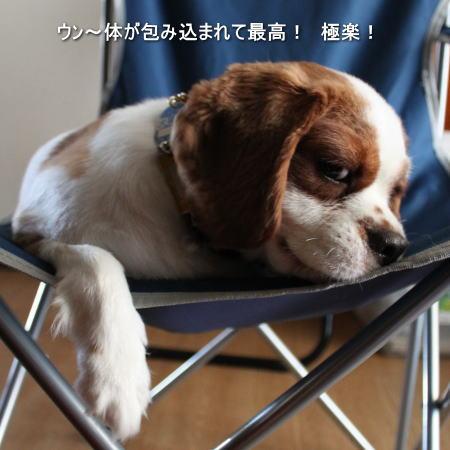 今日の看板犬 キャバリアCocoちゃん 20100815-1
