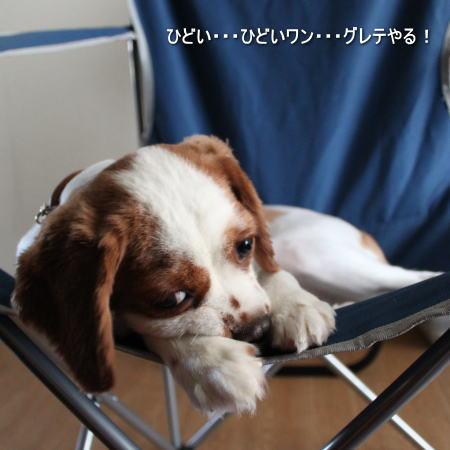 キャバリアCocoちゃん 20100815-7