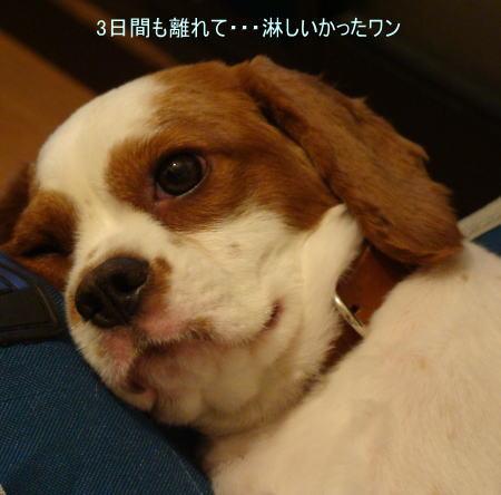 看板犬 キャバリアCocoちゃん 20100913-1