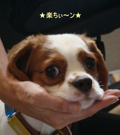 看板犬 キャバリアCocoちゃん 20101004-1