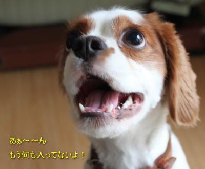 看板犬 キャバリアCocoちゃん 20101022