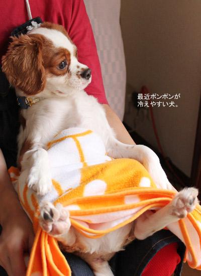看板犬 キャバリアCocoちゃん 20101025