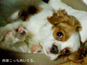 看板犬キャバリアのココちゃん。
