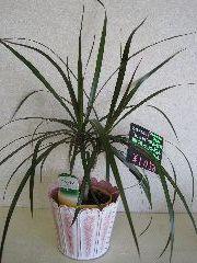 ブリキポット入りミニ観葉植物
