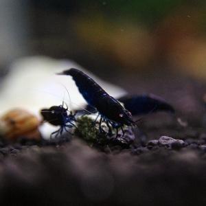 shrimppin-bd.jpg