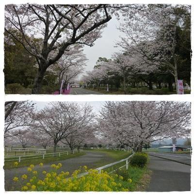 馬事公苑桜