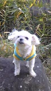 愛犬 マルシーズ