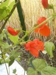 20100626花豆の花1