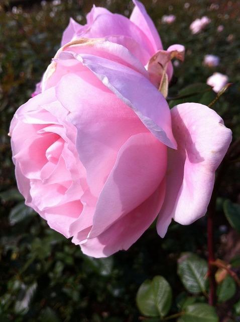メモリーオブシマダ冬の花