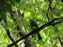 都内で野鳥撮影-ヒヨドリ