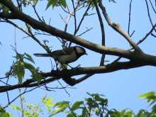 都内で野鳥撮影-シジュウカラ